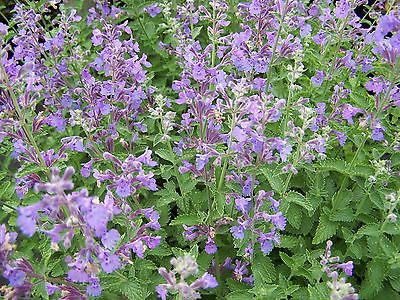Nepeta Seeds Longpipes Clump-Forming Perennial Aromatic Foliage 100+ Seeds