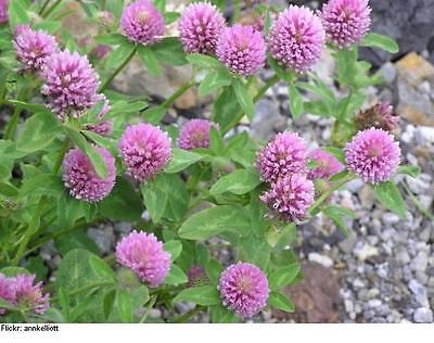 Red Clover Seeds  Bulk Grass  Easy to Grow!!  theseedhouse  2000+ Seeds