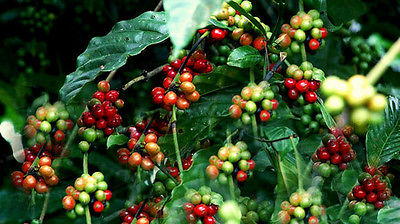 Coffee Plant Seeds  CAFE CATIMORRA  Exotic Houseplant  2015-  100 Seeds