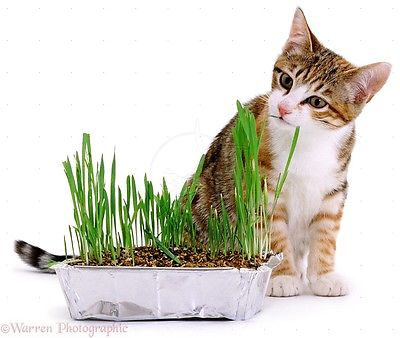 Organic Cat Grass -  Barley - Easy to Grow Treat for Your Pet  2000+ Seeds