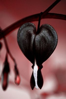 Bleeding Heart Seeds - JETTUS BLACK - Very Rare Shade Perennial - 40 Seeds