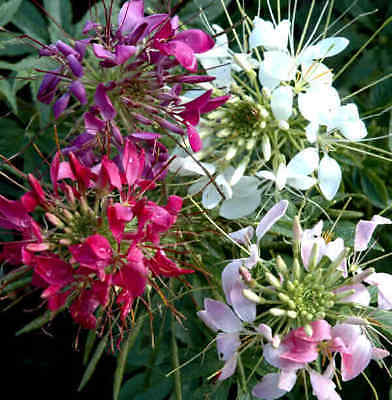 Cleome Seeds - SPARKLER MIX - Pink, White, Purple Flowers - Annual - 30+ Seeds