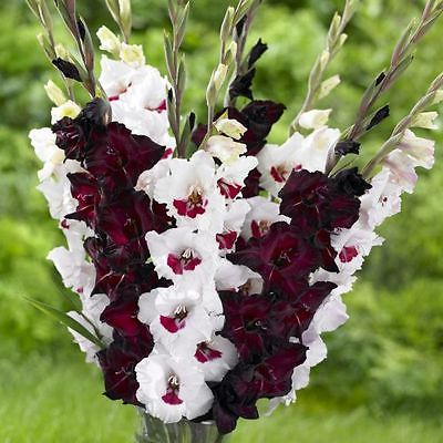 Gladiolus Bulbs -EXPRESSO FIORENTINA-  Breathtakingly Beautiful Blooms - 6 Bulbs