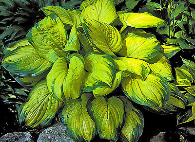 Hosta Plant - STAINED GLASS - Great in Containers - Shade Perennial - 2 Shoots