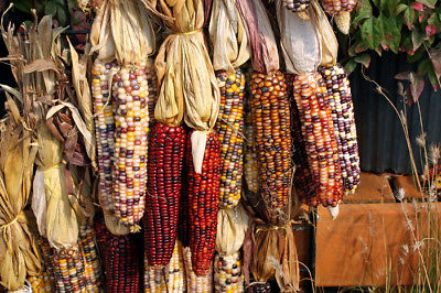 Corn Seeds - Gorgeous Indian -Easy to Dry and Store - theseedhouse - 50+ Seeds