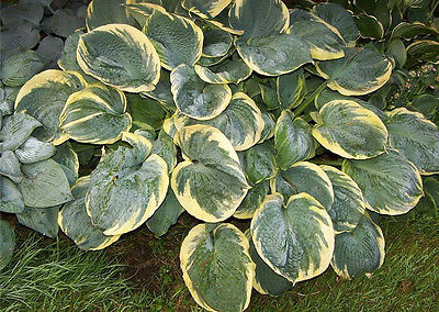 Hosta Plant - PIZZAZZ - Deer & Rabbit Resistant - Shade Perennial - 2 Shoots