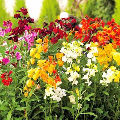 Wallflower Seeds - PRINCE MIX - Great for Container Gardens - CANADA - 20 Seeds