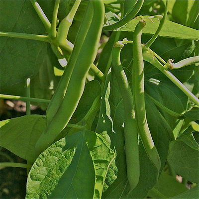 Bean Seeds - TENDERGREEN - Non-Gmo Vegetable - Heirloom -theseedhouse -50 Seeds