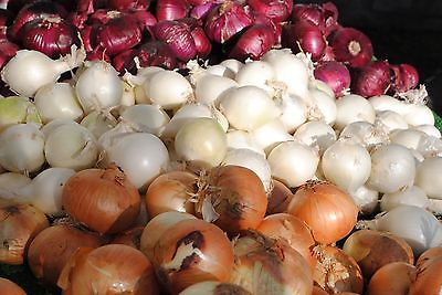 Potato Onions - RED, WHITE, AND YELLOW MIX - Great Variety Mix - 24 Bulbs / Sets