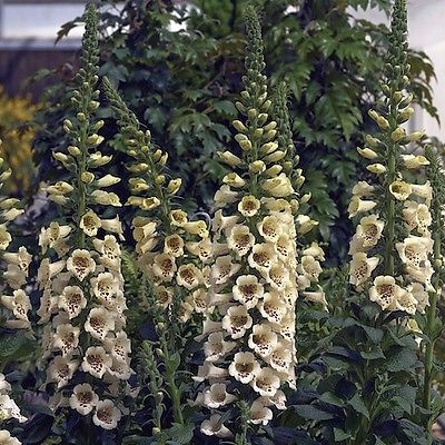 Foxglove Seeds - CAMELOT CREAM - Magnificent Spikes - Speckled Cream - 50+ Seeds