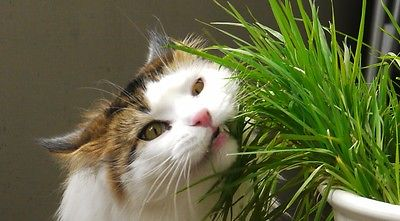 Organic Cat Grass Seeds - RYE - Great for Digestive System - 200+ Seeds   =^..^=