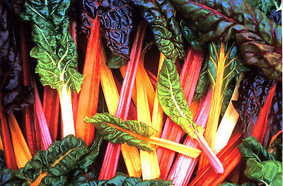 Swiss Chard Seeds - BRIGHT LIGHTS - Colorful Variety - GMO FREE - 40 Seeds