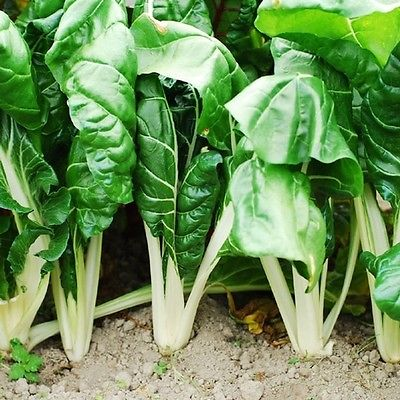 Swiss Chard Seeds - FORDHOOK GIANT - Cold Hardy, Heat Tolerant-NON GMO- 40 Seeds