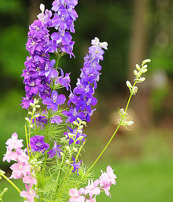 Larkspur Seeds - CANNES LILAC - Heirloom - theseedhouse - Bulk - 200+ Seeds