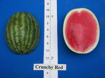 Watermelon Seeds - CRUNCHY RED - Bright Red Flesh - Grows Up To 18 lb. -10 Seeds