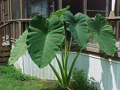 Elephant Ear Plant - Bold Foliage Adds Exotic Touch - 50 Bulbs! - $$$$ SAVE $$$$