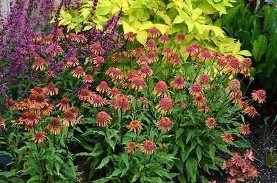 Echinacea Purpurea Seeds - SECRET DESIRE -Perennial Coneflower-HYBRID - 15 Seeds