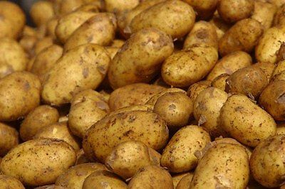 Irish Potato Tubers - Excellent Choice for Baked, Fried, Boiled - 6 Tubers