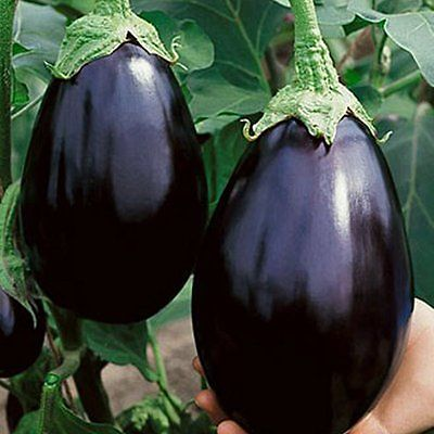 Eggplant Seeds - BLACK BEAUTY - Great Tasting, High Yielding - 25 Seeds