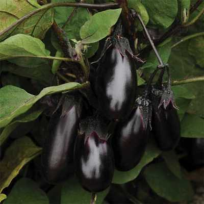 Eggplant Seeds - EPIC - Gmo Free - Excellent Tasting Variety - 25 Seeds