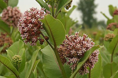 Asclepias Seeds - ASCLEPIAS SYRIACA - Wildflower,Attracts Butterflies - 25 Seeds