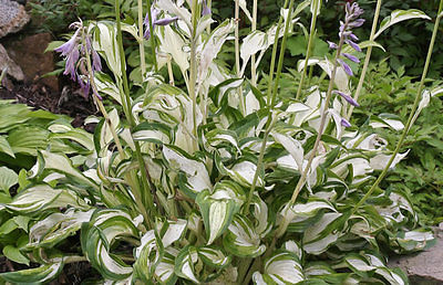 Hosta Plant - UNDULATA UNIVITTATA - LIVE HOSTA PLANTS FOR SALE HERE - 2 Shoots