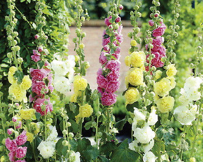 Hollyhock Seeds - SUMMER CARNIVAL MIX - Rainbow of Colors - Bulk - 100+ Seeds
