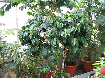 Coffea Plant Seeds - UGANDAN ROBUSTA - Tropical -GMO FREE - ONE POUND Seeds