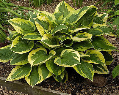 Hosta Plant - ANNE - Popular Variety - Variegated Shade Perennial - 2 Shoots