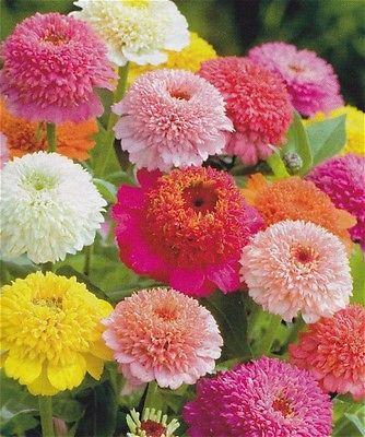 Zinnia Seeds - SCABOSIA MIX - Unique Heirloom - Variety of Colors - 25+ Seeds