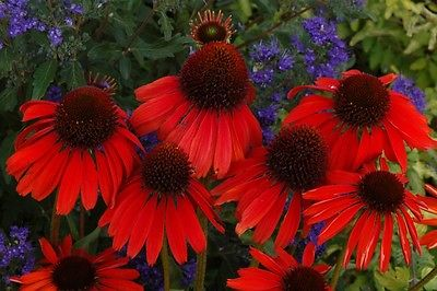 Echinacea Purpurea Seeds - FIREBIRD CONEFLOWER-Hybrid- Deer Resistant - 15 Seeds