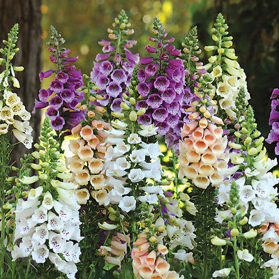Foxglove Seeds - DALMATION MIX - Canadian Dwarf Perennial -Self Sows- 50+ Seeds