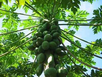 Papaya Seeds ~~ Moon Star ~ Makes a Great Tropical House Plant too! ~ 20 Seeds ~