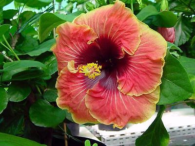 Hibiscus Seeds - Tahitian Caramel Galaxy x Tahitian Purple Passion- 10 Seeds