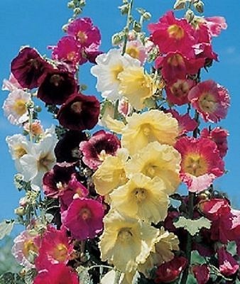 Hollyhock Seeds - GIANT DANISH MIX - Rare Biennial - 11 Feet Tall - 25 Seeds