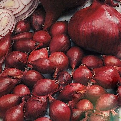 Onion Set ~ Red Baron ~ Organic Spring Bulbs~  Hardy Variety ~ 20 Bulbs / Sets