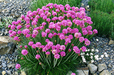 Armeria Seeds ~ PINK ONLY ~ Sea Pinks, Common Thrift ~Compact Perennial-50 Seeds