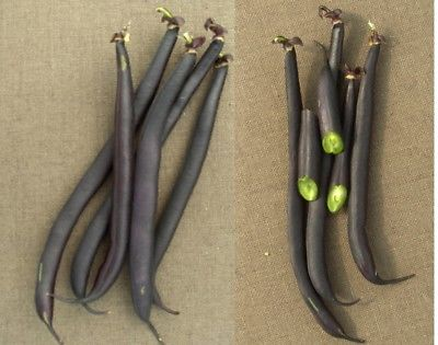 Bean Seeds - ROYAL BURGUNDY - Colorful Variety - Organic - GMO FREE - 25 Seeds