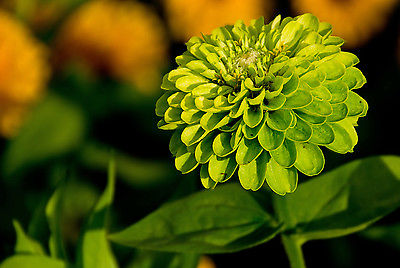 Zinnia Seeds - GREEN ENVY - Chartreuse-Green Unique Colored Flower - 20 Seeds