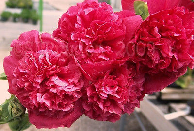 Hollyhock Seeds - DOUBLE RED - Large Peony Like Blooms - Heirloom - 100+ Seeds
