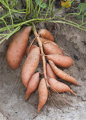 Sweet Potatoes - VARDAMAN - Great Taste Baked & Fried - ORGANIC - 2 Tubers