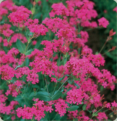Catchfly - Generous Rose Pink Cluster Flowers -Reseeds - theseedhouse- 50+ Seeds