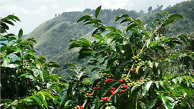 Coffee Bean Plant Seeds - JAMAICA BLUE MOUNTAIN - Rare Coffee Bean - 1 Pound