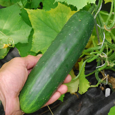 Cucumber Seeds -  MARKETMORE - Great for Making Pickles  - 50+ Seeds