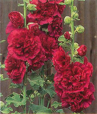 Hollyhock Seeds - DOUBLE RED - Ideal Cottage Garden Plant - Heirloom - 25+ Seeds