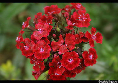 Sweet William Seeds - REDS ONLY -  Clusters of Deep Red Flowers - 25 Seeds