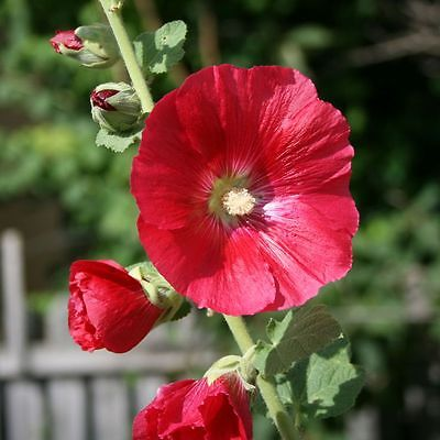 Hollyhock Seeds - SPOTLIGHT MARS MAGIC - Alcea - Butterfly Favorite - 25 Seeds