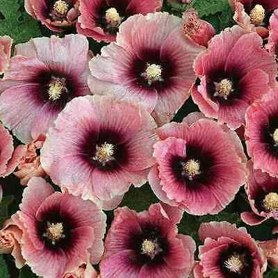 Hollyhock Seeds - HALO APRICOT - Butterly Favorite - Alcea - 25 Seeds