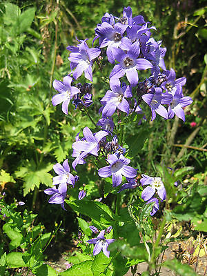 Campanula Lactiflora Seeds - BLUE CROSS - Milky Bellflower - Perennial -50 Seeds