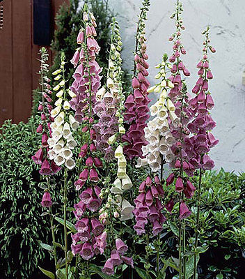 Foxglove Seeds - FOXY MIX - Beautiful Dwarf Biennial - Self Sows - 50+ Seeds
